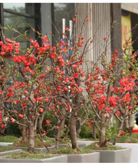 Bộ 2 gói hạt giống hoa mai đỏ - Tặng kèm 2 viên kích thích nảy mầm