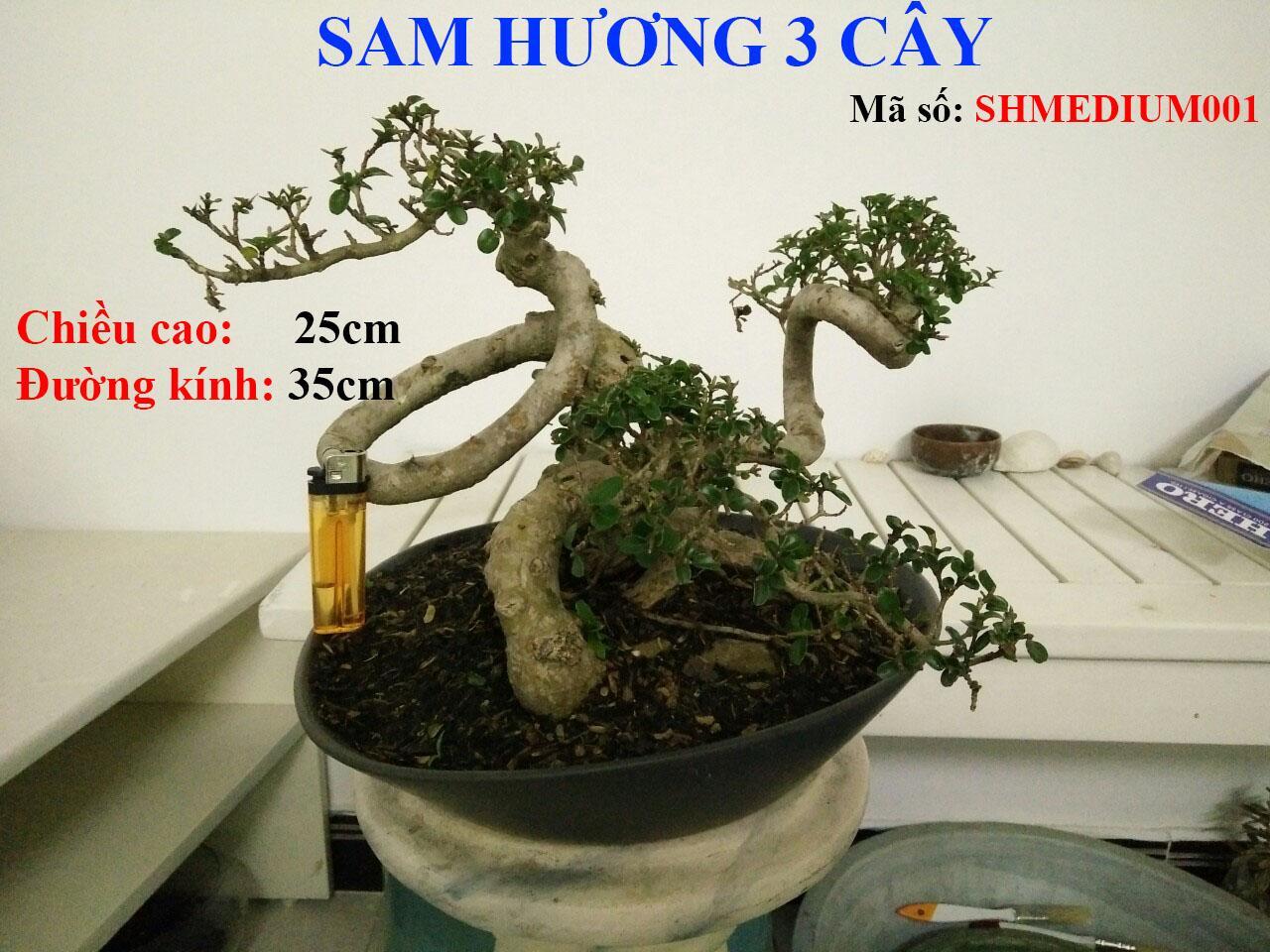Sam Hương Bonsai Loại Vừa Để Bàn