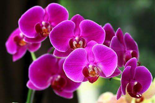 hạt giống hoa lan hồ điệp f1