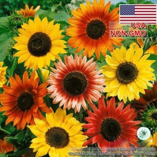 30H hạt giống hoa hướng dương hỗn hợp nhiều màu, tỉ lệ nảy mầm cao, cây sai bông, cao khỏe (C2.304 | B4)