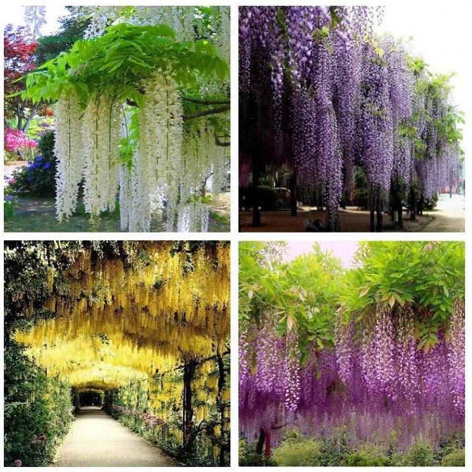 Hoa lụa, hoa giả dây leo - Hoa Fuji siêu đẹp