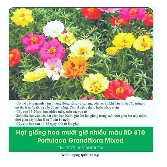 Hoa Mười Giờ Nhiều Màu Hà Lan Rd810
