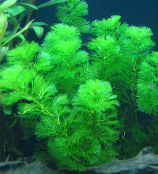 1 khóm Cây la hán xanh - cây rong thủy sinh đẹp mềm mại