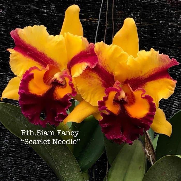 COMBO 5 CÂY Lan Cattleya Giống nhiều màu, hoa bông to đại cực thơm giá siêu rẻ