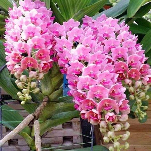 Hoa lan giáng hương ngọc điểm( đai châu), cây to, bộ rễ khỏe,hàng bóc rừng