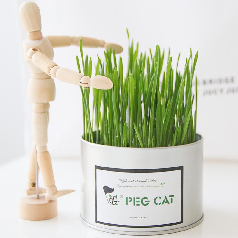 Cỏ mèo tươi. Cỏ nếp dành cho mèo, đặc trị haniball cho mèo. Thức ăn cho thú cưng.