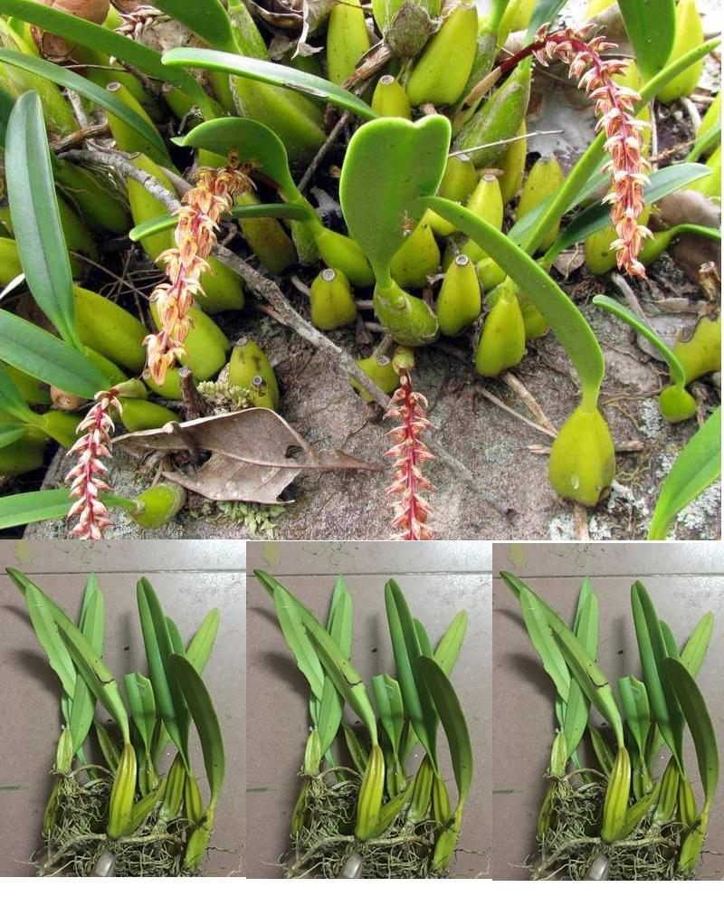 Combo 4 loại hoa phong lan rừng dễ trồng và chăm sóc : Nhất điểm hoàng, Kim điệp, Lan Lọng , Kiếm