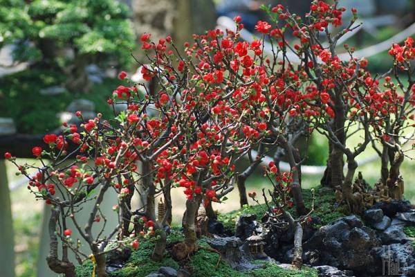 Cây mai đỏ Nhật Bản đang nụ nở đúng dịp tết (ảnh thật số 2)