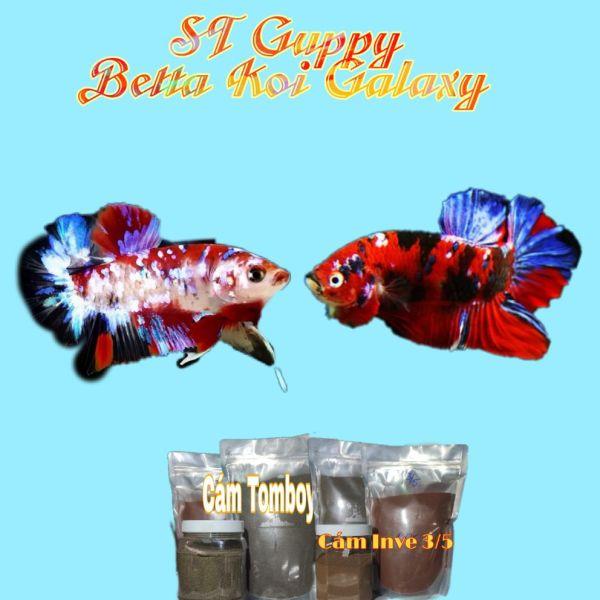Betta Koi Gallaxy (2 Trống 1 mái) | Bộ Trang Trí Hồ Cá | Tặng Hộp Sốp