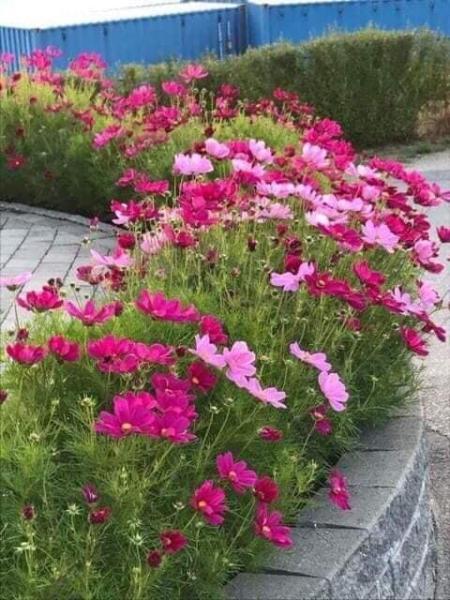 Hạt Giống Hoa Cúc Sao nhái,Cúc Bướm mix màu 100 gram 80.000 -100.000 hạt