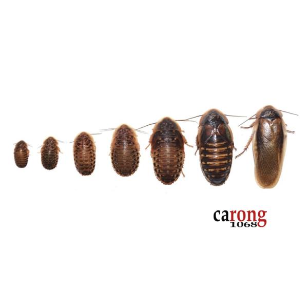 Gián Dubia sinh sản -  Dubia giống kỹ thuật nuôi sinh sản trong điều tốt, tạo nguồn thức ăn ổn định cho pet. Dubia không mùi hôi, dễ nuôi, không bay