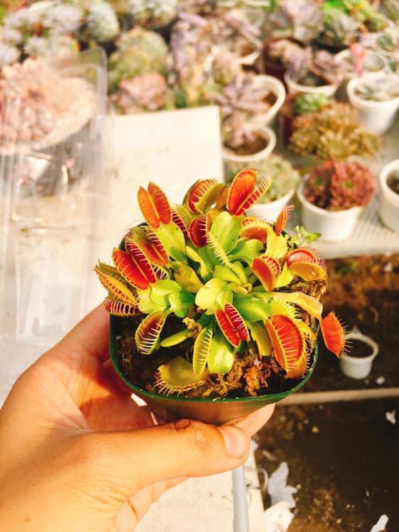 Cây bẫy kẹp - Venus flytrap