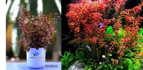 Cây thủy sinh tân đế tài hồng đỏ cây thủy sinh rất đẹp