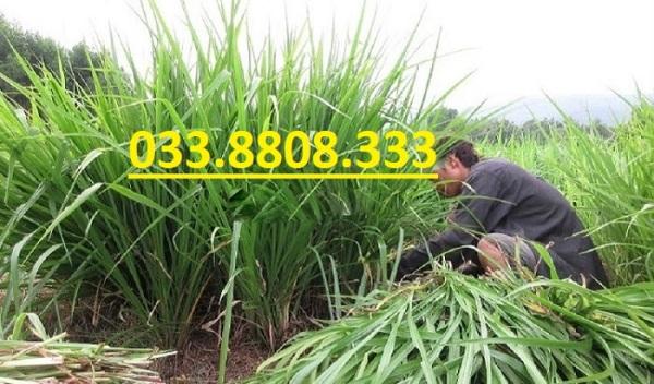 Hạt giống cỏ chăn nuôi Ubon Paspalum - Cỏ xả chịu ngập 200g - Hạt Giống Cỏ Chăn Nuôi Trâu,Bò,dê,cừu,cá... đem lại năng xuất cao trong ngành chăn nuôi
