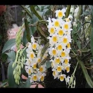 Hoa lan kiều tím- kiều thuỷ tiên(hàng bóc rừng) thumbnail
