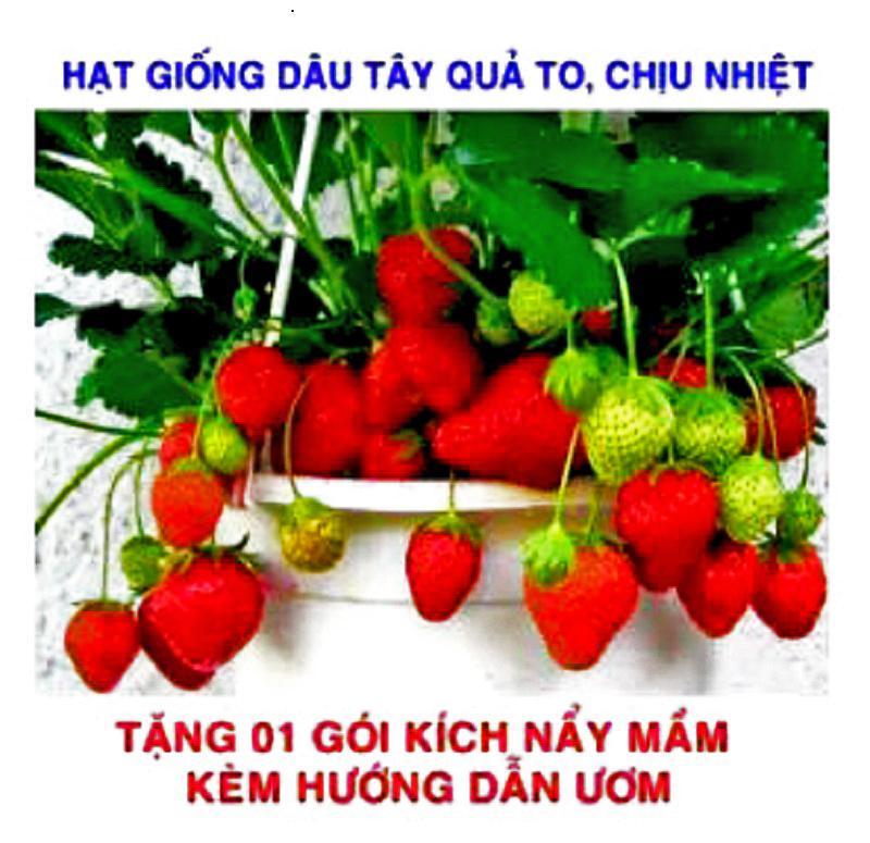 Gói 100 Hạt giống Dâu Tây đỏ Quả To, Chịu Nhiệt (tặng...