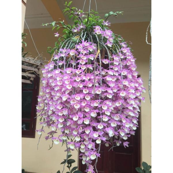 combo 5 cốc hoa phong lan - thiên cung lữ bố  - tclb