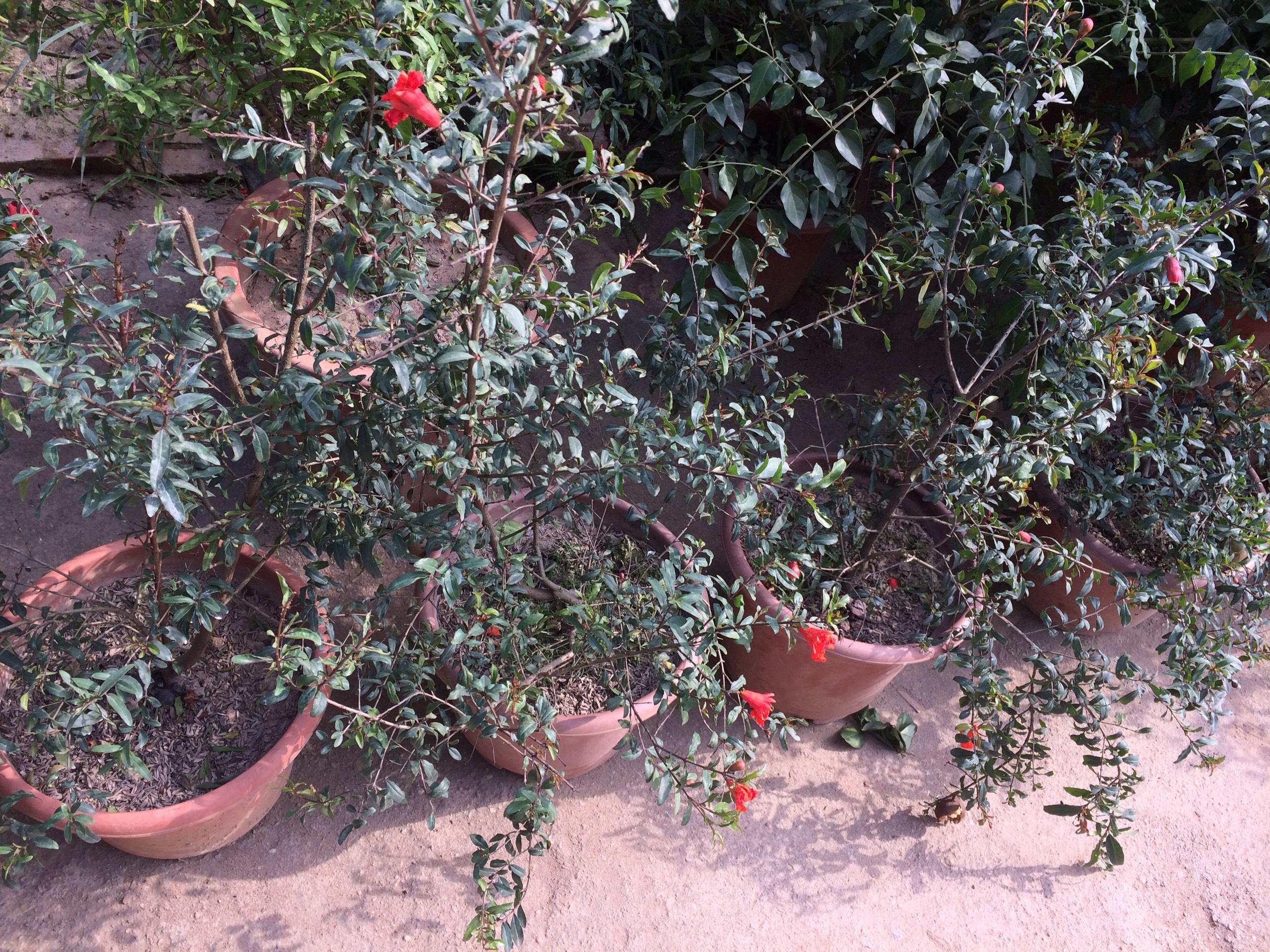 Cây lựu lùn quả đỏ trưởng thành chậu nhỏ sẵn sàng giao tay khách