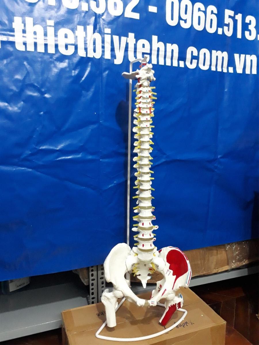 Mua Mô hình xương cột sống có rễ thần kinh , khung chậu 83cm