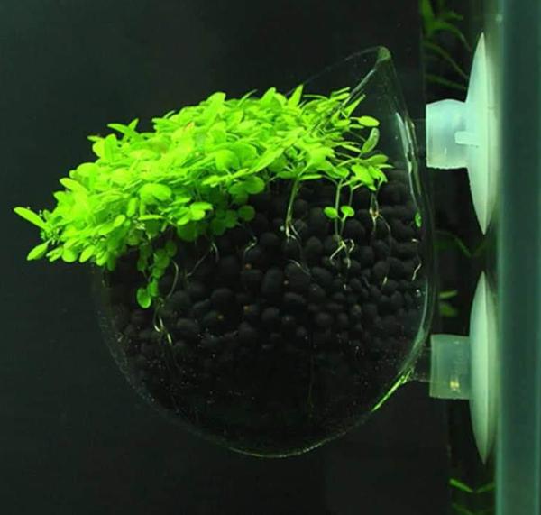 Cốc thuy tinh trồng thủy sinh