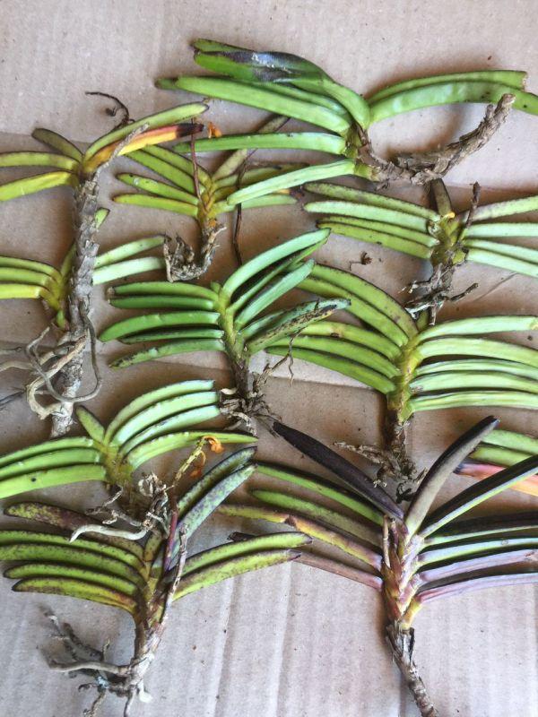 11 cây Hoa lan Hoả hoàng cam chỉ 105k