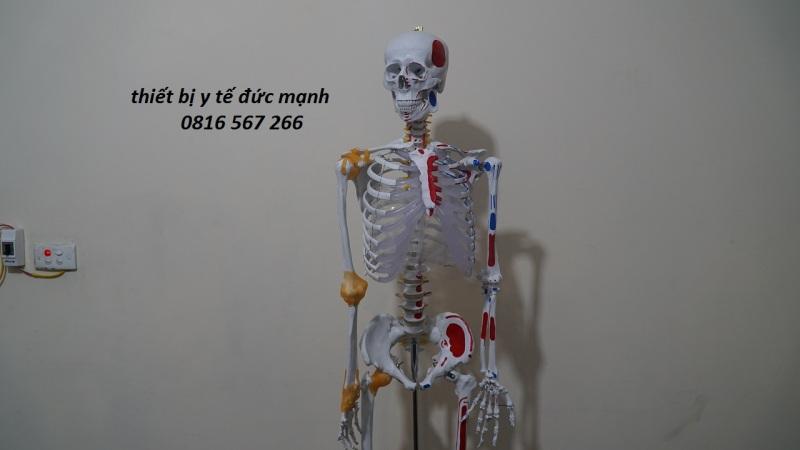 Mô hình xương người 170cm có nguyên ủy bám tận