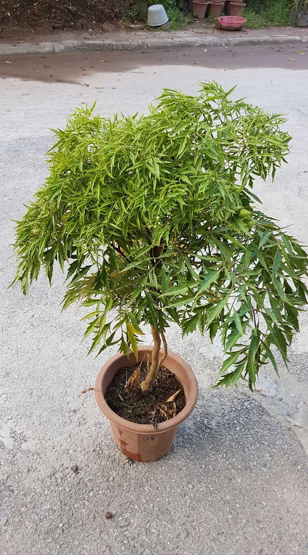 Cây đinh lăng lá nhuyễn trồng chậu 1 năm tuổi cao 50 cm