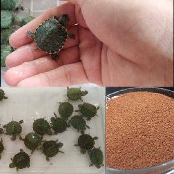 Cám Rùa xanh(1 con)