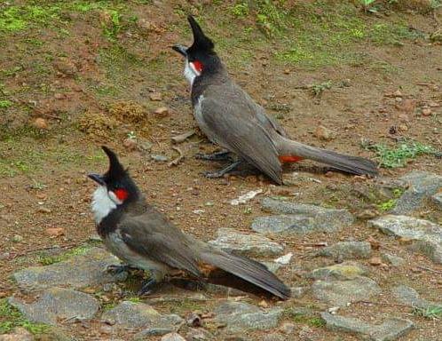 đặc trị khàn giọng xã cánh tiêu chảy cho chim hot chi đá - 2