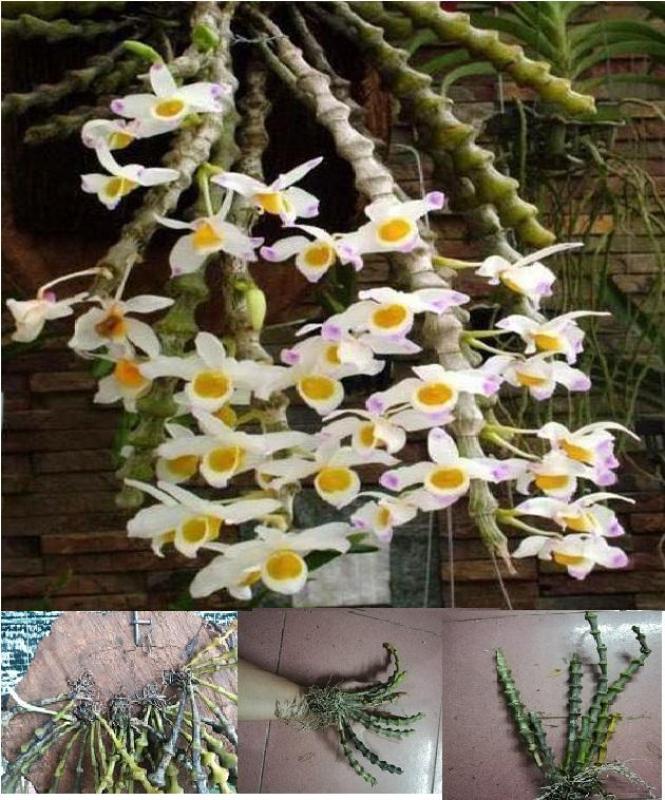 Giống cây hoa lan trúc phật bà - cây đang bắt đầu nhú mầm cây con ở gốc