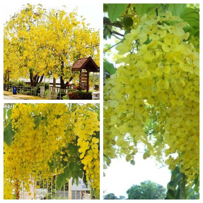 Hạt giống hoa muông hoàng yến ( hoa osaka 1 gói 15 hạt )
