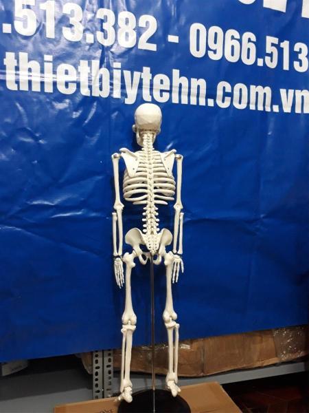 Mô hình xương người 85cm