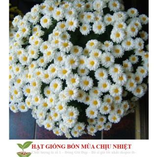 Gh4A 100H Hạt Giống Hoa Cúc Chi Trắng - 60Cm Đến Mùa Trồng Tết thumbnail