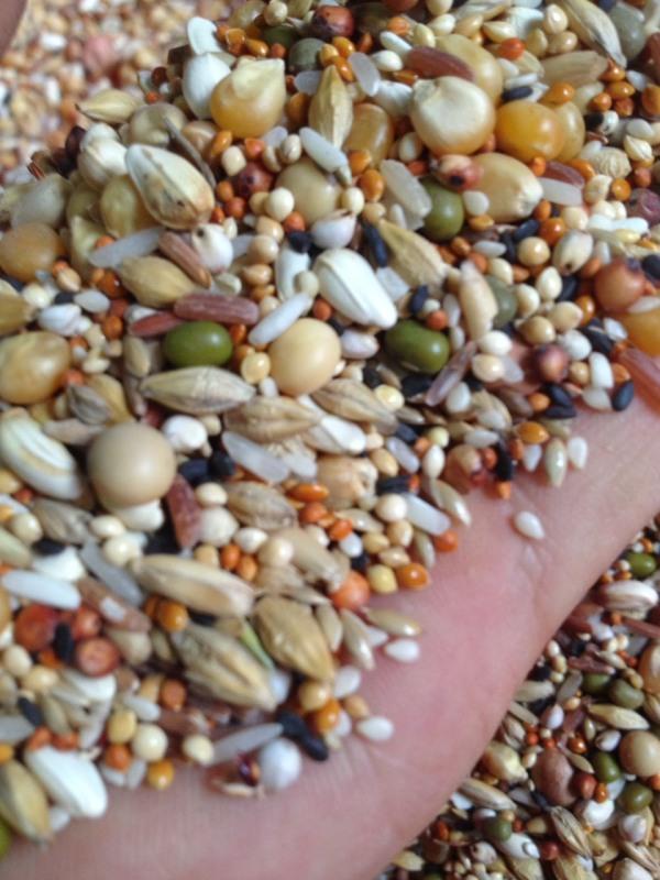 hạt tổng hợp ngũ cốc cho chim cu gáy