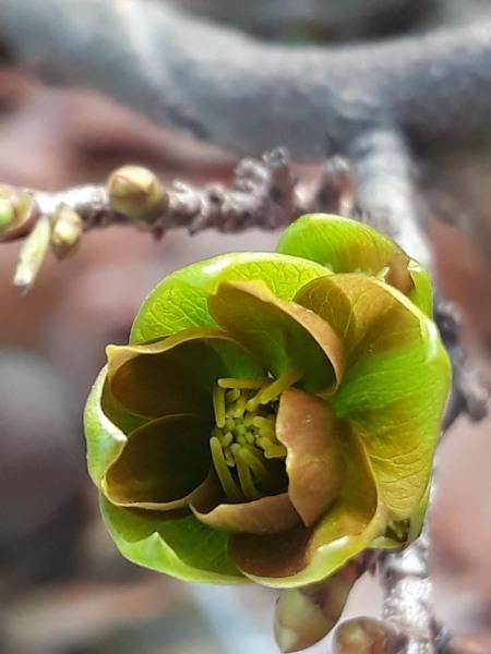Hoa mai xanh Phước Lộc Thọ(cây giống)