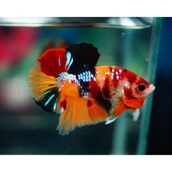 Thức Ăn - Phụ Kiện - Betta Plakat Nemo Siêu Đẹp Đem Đến May Mắn, Tài Lộc - Betta Thái Lan