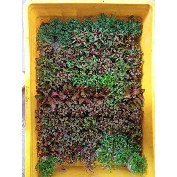 Combo 9 loại cây thủy sinh cắt cắm đẹp cho bể thủy sinh