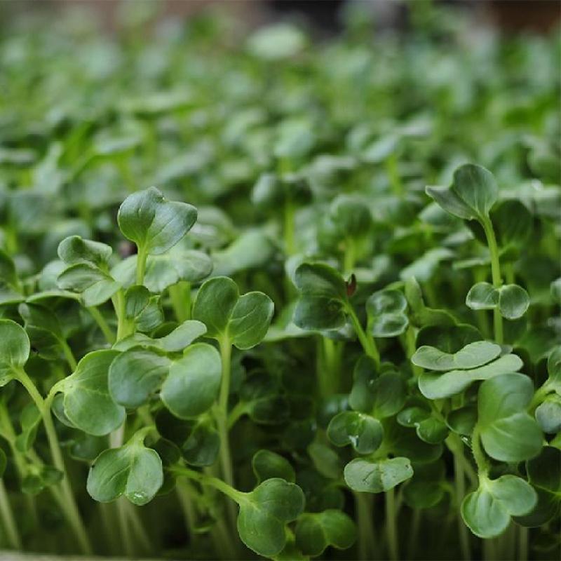 Hạt giống rau mầm cải trắng hạt lớn gói ký