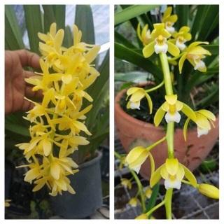 Combo 2 cây hoa phong lan kiếm hoàng long thumbnail