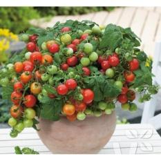 Hình ảnh Hạt giống Cà chua bi lùn quả đỏ - Tặng kèm một viên kích thích nảy mầm
