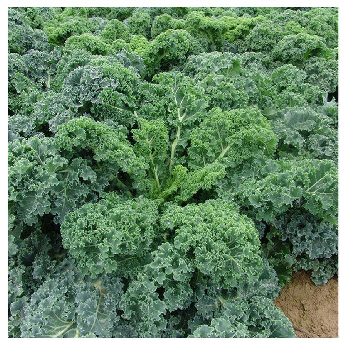 Hạt Giống Cải Xoăn Kale Starbor F1