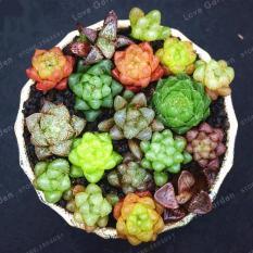 Hình ảnh Hạt giống cây Sen Đá Kim cương mix (Gói 10 hạt - Kèm tài liệu HD)