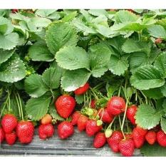 Hình ảnh Hạt giống Dâu tây đỏ - Tặng kèm một viên kích thích nảy mầm