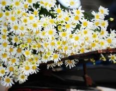 Hình ảnh Hạt giống hoa Cúc họa mi - Hạt giống nhập khẩu từ Đức