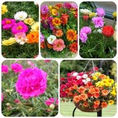 Hình ảnh Hạt giống hoa Mười giờ kép Mỹ mix màu