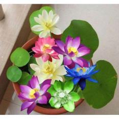 Hình ảnh Hạt giống hoa sen Nhật 3 hạt 3 màu khác nhau
