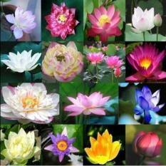 Hình ảnh Hạt giống hoa sen Nhật mini 10 hạt 10 màu khác nhau