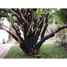 Hình ảnh Hạt giống Nho thân gỗ - Tặng kèm một viên kích thích nảy mầm