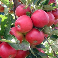 Hình ảnh Hạt giống táo đỏ lùn
