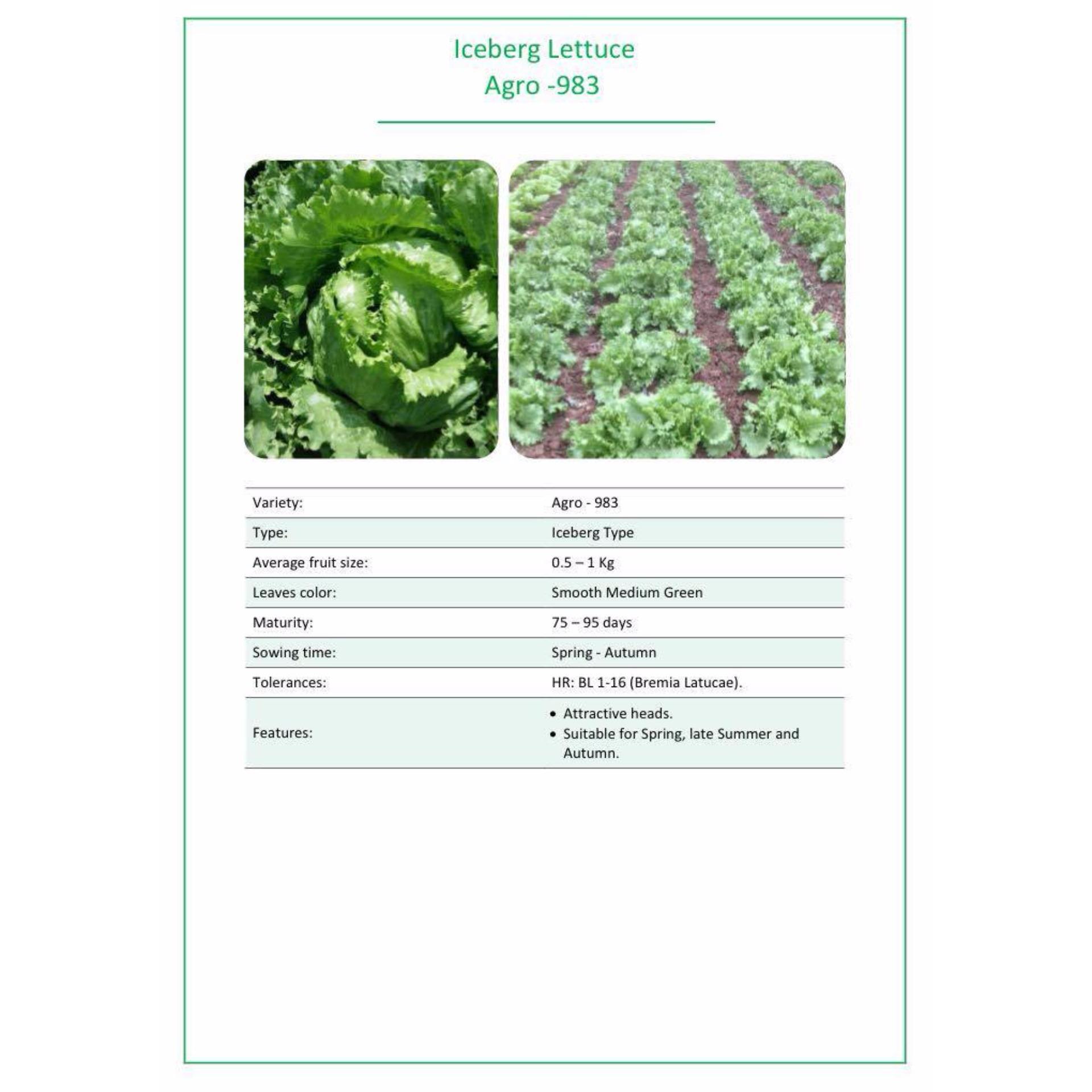 Hạt Giống Xà Lách Chịu Nhiệt Agro 983- Fine Seeds